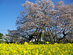 Kariyado_no_gebazakura3
