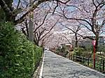 Sakurasaka1