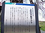 Ageishi_no_hudouzakura2