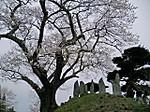 Yoshinobe_tanemakizakura2