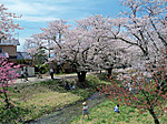 Kannonjigawa_sakuramaturi4