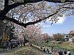 Kannonjigawa_sakuramaturi5