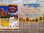 Himawari_in_kitanakagusuku1